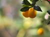 PC210120 (Asansvarld) Tags: citrus olympusomdem5 microfourthirds manuallens manuelltfoto bergianska botanical