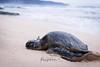 Honu World (Kelsie DiPerna) Tags: turtle sand shore ocean sea hawaii hawaiian island oahu pacific tortuga marine marinelife wildlife fauna seacreatures