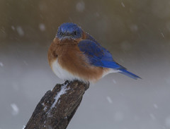 Eastern Bluebird, male (AllHarts) Tags: maleeasternbluebird backyardbirds memphistn passionforbirds passionforbirds~goldengallerylevel2~ naturesspirit awesomebirds thesunshinegroup sunrays5