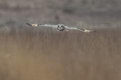 Short-eared Owl - Asio flammeus (AnthonyVanSchoor) Tags: shorteared owl asio flammeus birdofprey nikond7100 tamron150600mmtelephotolens restricted birding bird birdshare birdwatchingmagazine