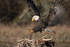 0N7A5993.jpg (Mike Livdahl) Tags: skagit eagles skagitriver