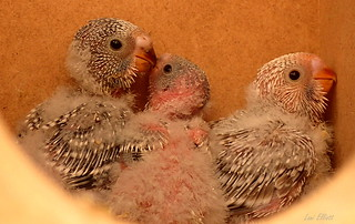 BUDGIE CHICKS AT FOUR WEEEKS OF AGE