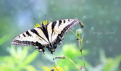Butterflied (socalgal_64) Tags: butterfly bokeh carolynlandi easterntigerswallowtail tiger swallowtail wings insect nature outdoors pennsylvania tiogapa pottercounty usa colorful ngc npc coth5
