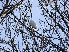 Little Egret among slender tree branches (Philip_Goddard) Tags: nature naturalhistory animals vertebrates birds ardeidae egretta egrettagarzetta littleegret europe unitedkingdom britain british britishisles greatbritain uk england southwestengland devon exeter cricklepitmill