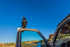 Common Raven Begging on Vehicle Door in Canyonlands National Par (Lee Rentz) Tags: bigspringcanyonoverlook canyonlandsnationalpark needlesdistrict theneedles adaptation adapting america american animal begging behavior bird birdwatching birding canyonlands car commonraven corvuscorax door feeding habituated habituation intelligence nationalpark nationalparkservice nature northamerica opportunism opportunist opportunistic park parkingarea predator raven road rv scavenger smart southernutah southwest southwestern usa utah vehicle visitors west wild wildlife