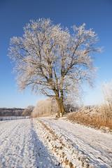 Winterträume (Lilongwe2007) Tags: baum pflanzen natur landschaft deutschland schleswig holstein ahrensburg eis winter schnee bäume eichen reif raureif