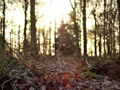 Twigs (Adam Loader) Tags: woods wood forest stick sticks twig twigs tree trees lowlight winter northamptonshire