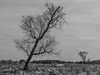 Leaning (PMillera4) Tags: leaning tree blackandwhite