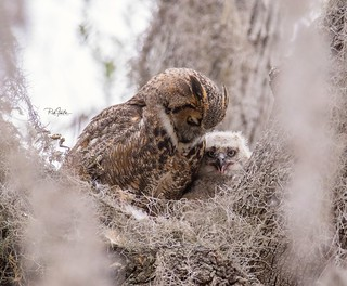 Great horned owl with chick. Mom and owlet having brunch.