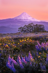 Purple Mountain Majesty (Rajesh Jyothiswaran) Tags: america beautiful balsamroot cascade columbia hills state park dusk golden hour greenery hill lupine majestic majesty meadow mountain mt hood peaks perspective purple majesties snow sunlight sunset the dalles volcano washington wildflower landscape dramatic sky idyllic range scenery peak scenic