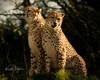 Tibo and Baro (yadrad) Tags: cheetah dartmoorzoologicalpark sparkwell carnivore dartmoorzoo bigcats devon ngc