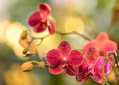 Orchids (mclcbooks) Tags: flower flowers floral macro closeup orchid orchids denverbotanicgardens colorado