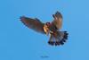 Red headed merlin with sparrow hunt (Irtiza Bukhari) Tags: hunt sparrow 400mm canoneos70d wonderofnature midairfreeze full bird one raptor pakistan wwf irtizabukhari bukhari irtiza birdsofpakistan birdsofprey merlin nature beauty