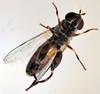 7.9 mm female thick-legged fly (ophis) Tags: diptera aschiza syrphidae eristalinae milesiini tropidiina syritta syrittapipiens thickleggedhoverfly