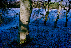 Rothiemurchus-trees-shadow (idreamedof) Tags: 3580mm13556afii af alpha cairngormsnationalpark dynax5 highlandsofscotland minolta rothiemurchus scotland scottishhighlands uk analogue atmosphere beech colourfilm deciduous film landscape lens nature plants seasons shadow snow tree weather winter woodland zoom