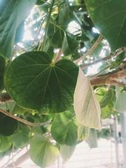 naturaleza hojas verde mexicali arbol samsunggalaxy neo j7 (Photo: noevillanueva on Flickr)