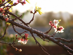 'A plum scented wind' (Andreas JS) Tags: nature natural photo picture capture sunlight light mood emotion feeling color colorful south africa naturaleza foto imagen captura luzdelsol luz estadodeánimo emoción sentimiento colorido sud áfrica spring apricot blossoms bokeh