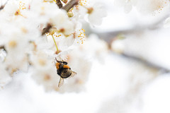 Grain of Grains (Pittypomm) Tags: 2018p52 week8 grain blossom tree bumble bee corbicula corbiculae pollen basket baskets white yellow brown spring insect animal