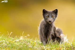 Arctic fox from last Summer