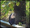 Cute Monkey (Indianature st2i) Tags: westernghats valparai indianature india tamilnadu tea teaestate anamalais anamallais anamalaitigerreserve nature mountains ltm macacasilenus monkeygangvalparai monkey liontailedmonkey liontailedmacaque liontailedmonkeyinthewild wildlife wildlifewithpeople wildlifehabitat 2018 january february