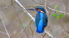 Kingfisher (m) (tsbl2000) Tags: kingfisher nikond810 tamron150600mm naturethroughthelens