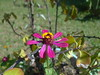 DSC05337 Zinnia Ou Flor Capitão (familiapratta) Tags: sony dschx100v hx100v iso100 natureza flor flores nature flower flowers