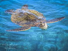 Hawaiian Green Turtle surfacing. (Freshairphotography) Tags: turtle hawaiiangreenseaturtle greenseaturtle hawaii hawaiian mauihawaii ilovemaui pacificocean maui sealife seacreature surfacing ocean peaceful calm graceful serene