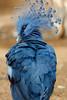 Victoria Crowned Pigeon (dpsager) Tags: arizona dpsagerphotography phoenix phoenixzoo zoo bird victoriacrownedpigeon pigeon