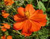 Schwefelcosmee (Gertrud K.) Tags: berlin marzahn iga2017 erholungsparkmarzahn gärtenderwelt flowers orange macro cosmos asteraceae