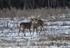 White Tail Bucks (a56jewell) Tags: a56jewell deer jan whitetail bucks field london winter