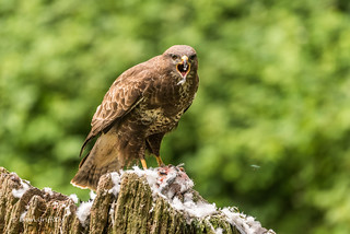 Buzzard (Buteo buteo) - Being vocal D75_9162.jpg