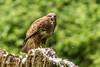 Buzzard (Buteo buteo) - Being vocal D75_9162.jpg (Mobile Lynn) Tags: birdsofprey wild birds buzzard nature bird birdofprey buteobuteo fauna raptor wildlife marstontrussell england unitedkingdom gb