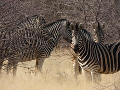 P1020078 (dieter.schultheiss) Tags: namibia naankuse lodge erindi game sossusvlei swakopmund safari cheetah lion gepard oryx dunes elephant elefant wild dog wildhund gnu zebra crocodile krokodil san bushmen buschmänner dead vlei solitaire