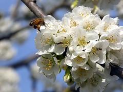 nostalgia di primavera (fotomie2009) Tags: ciliegio cherry bee ape insect insecta flower fiore flora white cerezo cerisier