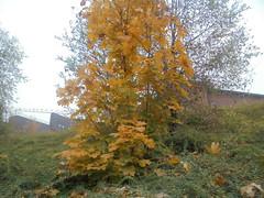 1307 (en-ri) Tags: albero tree sony sonysti verde giallo foglie leaves cielo sky autunno autumn fall bushes cespugli