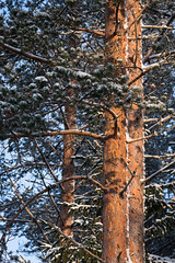 Sunbathing in January (grus_p) Tags: sunlight tree pine january winter snow finland luminanceboréale