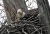 DSCN5162 home building.... (starc283) Tags: starc283 wildlife eagle americanbaldeagle bird birding birds baldeagle nature naturesfinest naturewatcher naturewatching flickr flicker raptor nest nesting