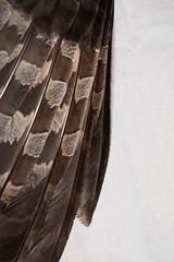 Great Gray Owl Primary Wing Feathers (Laura Erickson) Tags: strigidae birds strigiformes greatgrayowl species strixnebulosa