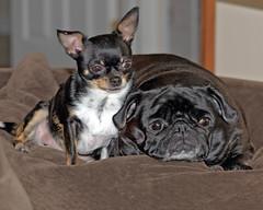 Watching (rdlpix) Tags: dog puppy pug chihuahua bulldog cute animal pet puppies portrait nikond7000 nikon