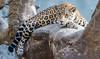 out on a limb (Pejasar) Tags: jaguar bigcat mammal tulsazoo tulsa pano panorama nikon d7200