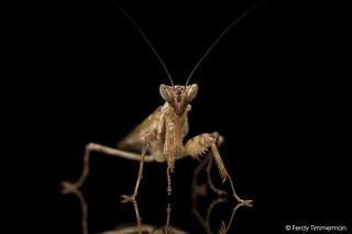 Asian flower mantis (Creobroter sp. 'Thailand')