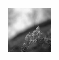 hangplümsche (fluffisch) Tags: fluffisch steinbergdeckenhardt saarland hasselblad 500cm mittelformat medium 11 zeiss planar 80mm cf f28 analog film negativ sw ilford panf