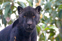 Black Panther........... (law_keven) Tags: blackpanther cats paris france pariszoo panther wildlife wildlifephotography photography cat birthday
