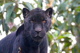 Black Panther...........