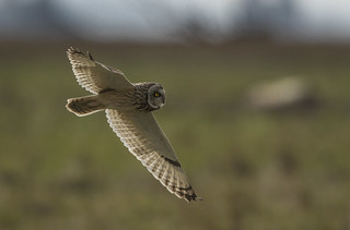 Short-eared owl - Like an old friends returned