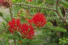 Beaufortia aestiva, Kings Park, Perth, WA, 19/11/17 (Russell Cumming) Tags: plant beaufortia beaufortiaaestiva myrtaceae perth westernaustralia kingspark