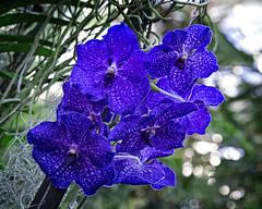 Blue Wonder (MrBlueSky*) Tags: orchid flower plant petal colour outdoor nature garden horticulture kewgardens royalbotanicgardens london pentax pentaxart pentaxlife pentaxk1 pentaxawards pentaxflickraward aficionados