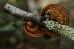 Circles (Onnalua) Tags: circles cercles champignons mushrooms bois wood macro macrophotographie macrophoto nature anna bunichon buni onnalua annarchie tamron lens 90mm f28 vi usd sony alpha slta58 ngc