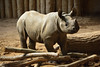 Chester Zoo (744) (rs1979) Tags: chesterzoo zoo chester blackrhino rhino