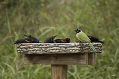 IMG_2231 (ninjabirder) Tags: december2016 texasdecember2016 texas greenjay redwingedblackbird